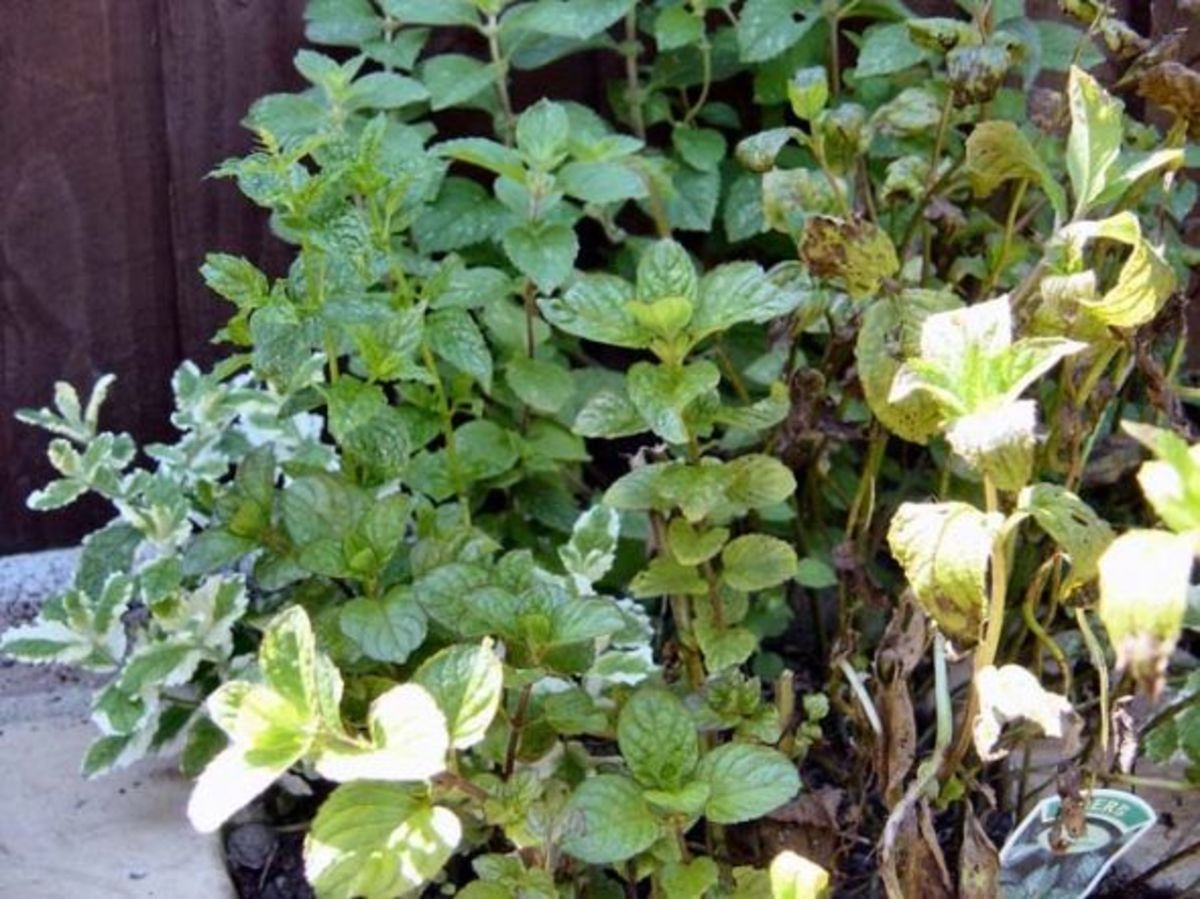 Mint Plants in My Garden