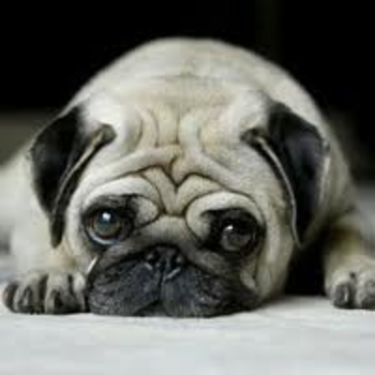 Pugs - Lovable, Huggable, Puggable!