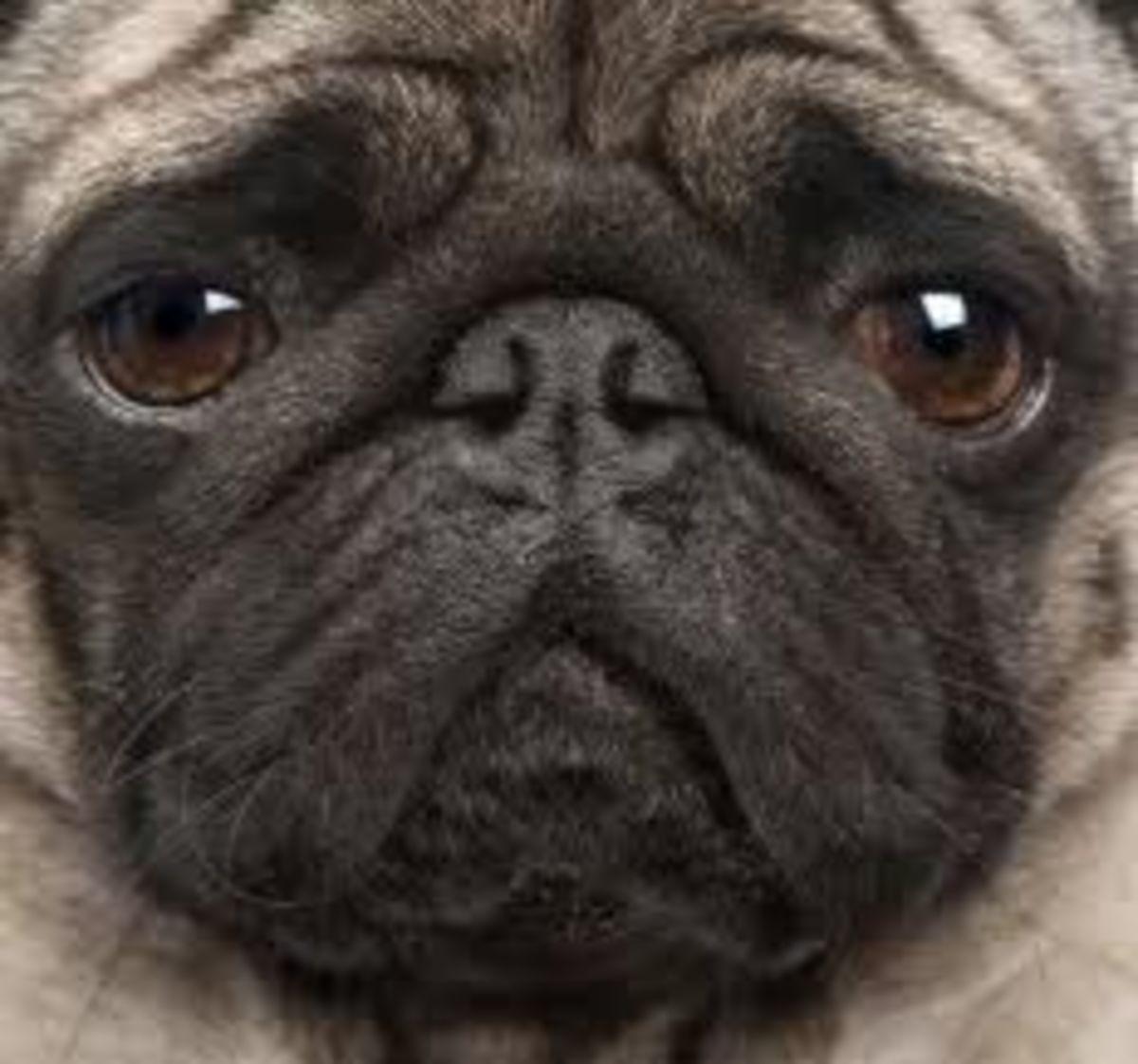 The Thinking Pug
