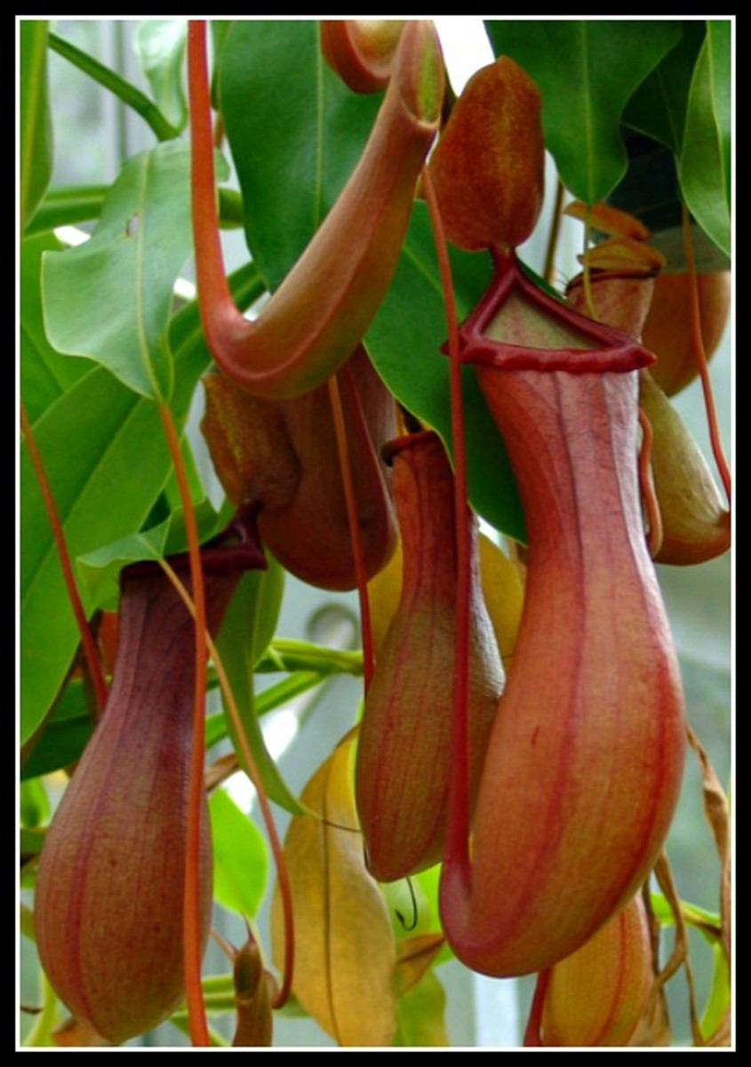 Pitcher Plant (Genus-Nepenthes) - Foster Botanical Garden, Honolulu, Hawaii