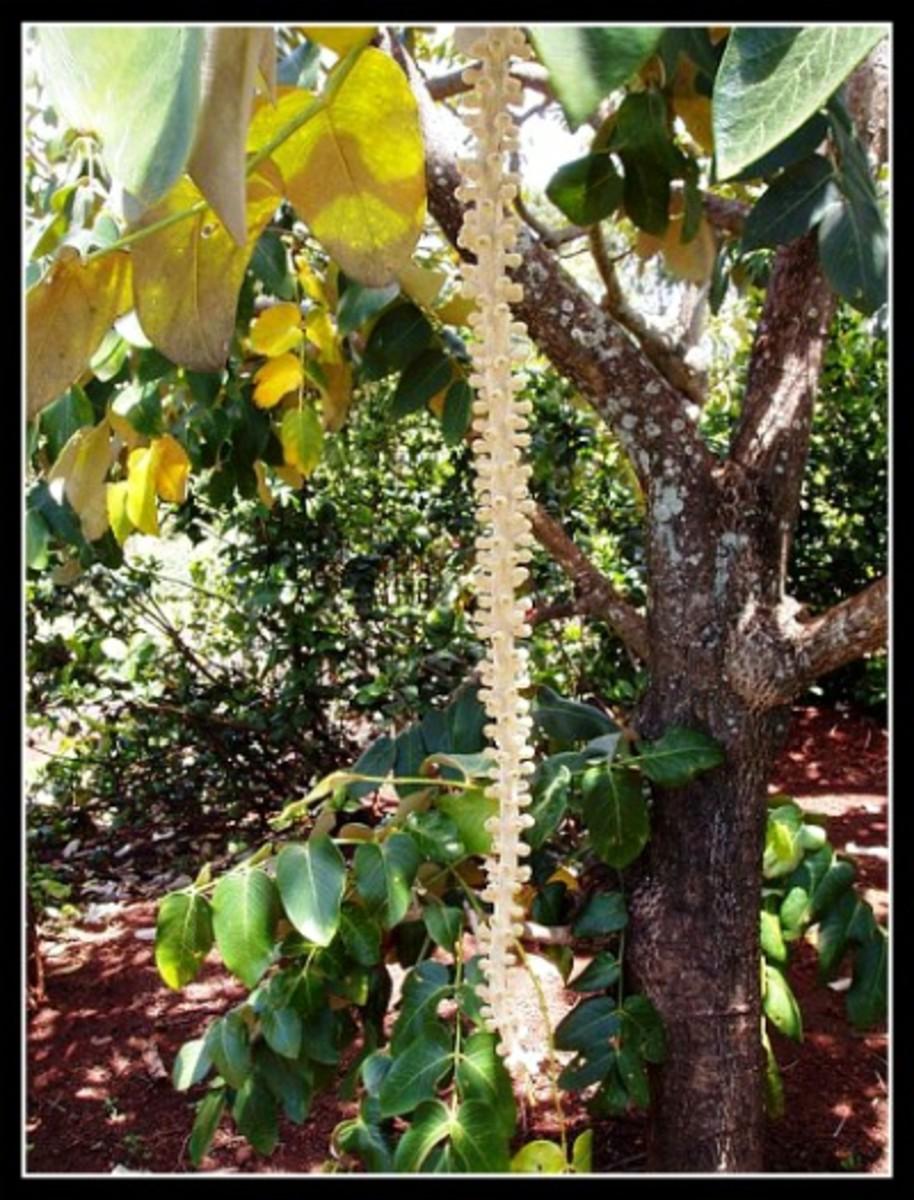Extremely Rare Endangered Endemic Species   to Kauai at National Botanical Gardens.