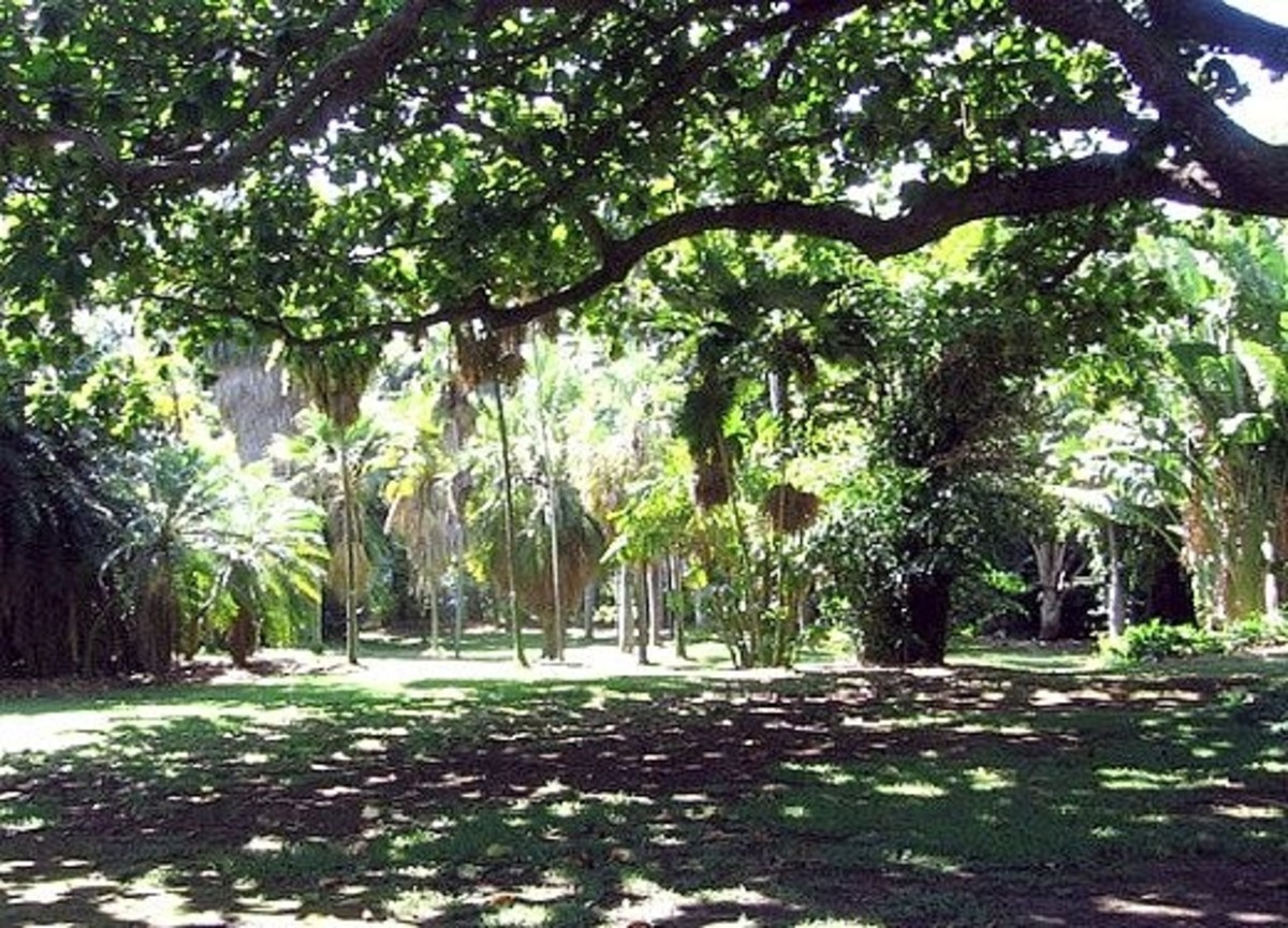Royal palms are highlighted by the sunlight and banana trees are off to the right. The tree we are walking under is a Monkey Pod Tree.