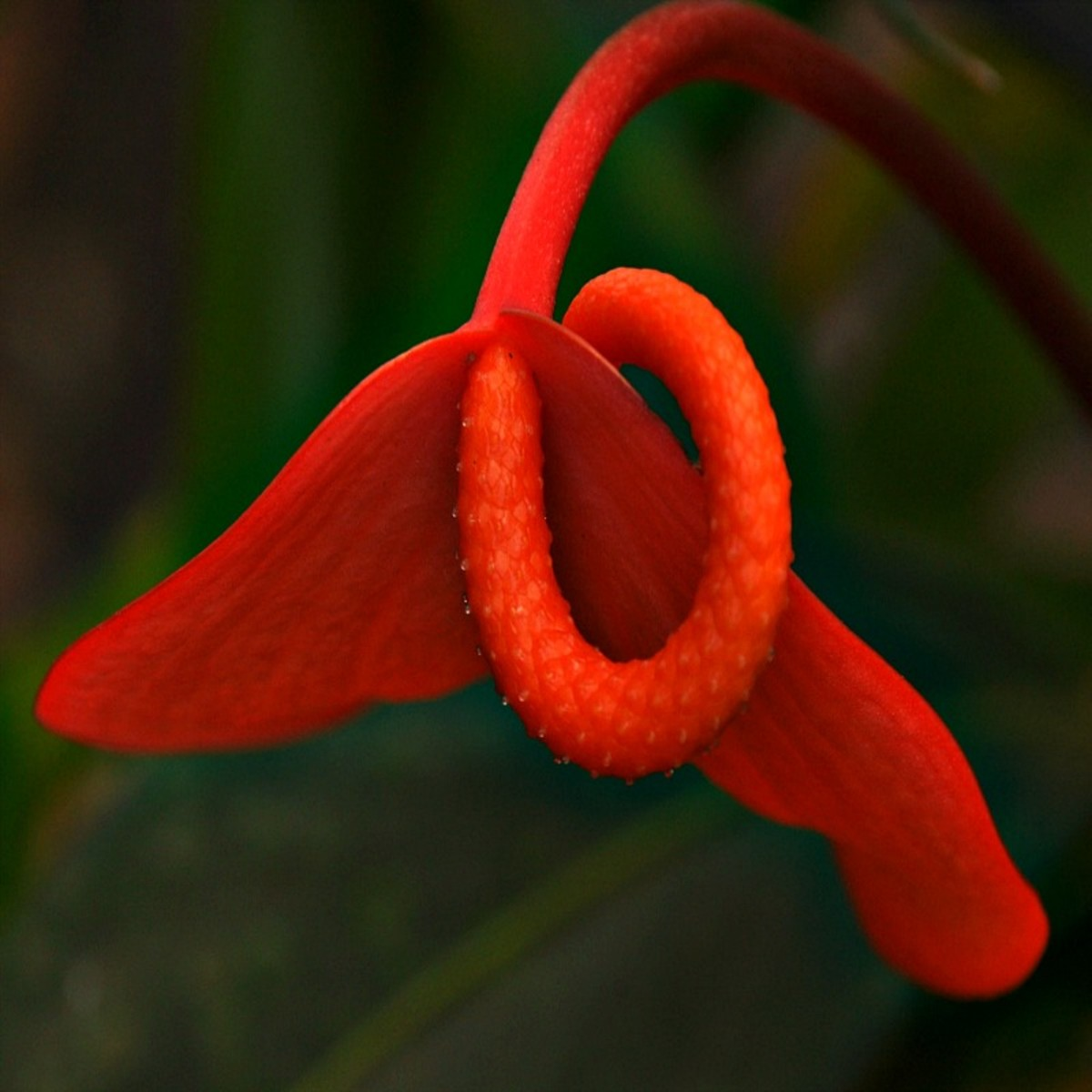 Flamingo Anthurium Flower (Anthurium Scherzerianum Flowering Habit)