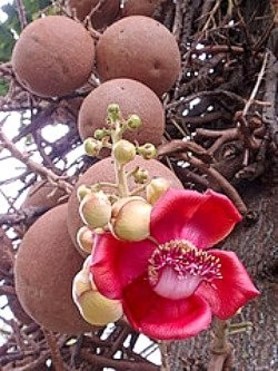 Cannonball tree at Foste Botanical Garden, Hawaii