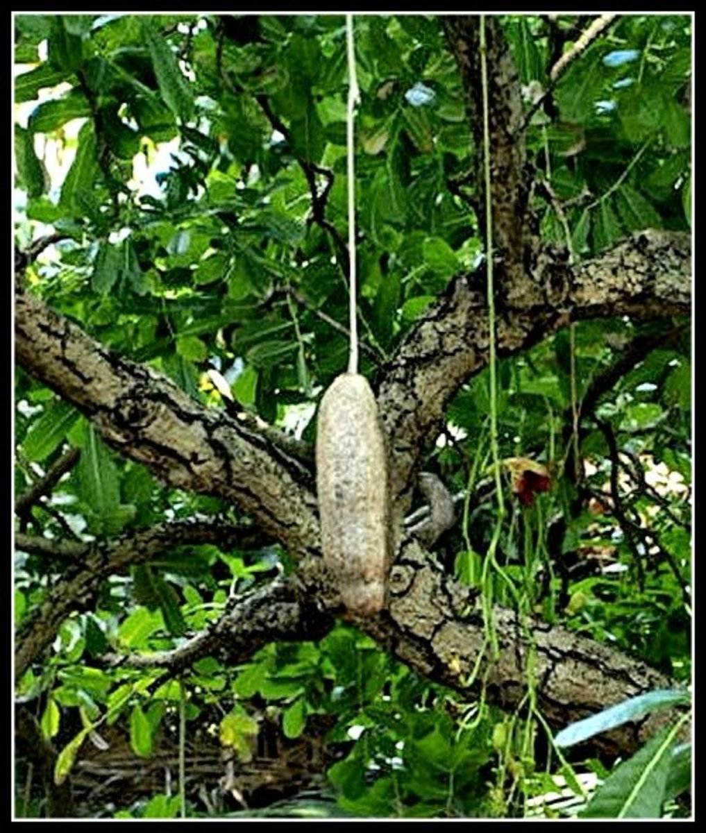 Sausage Tree at Foster Botanical Garden