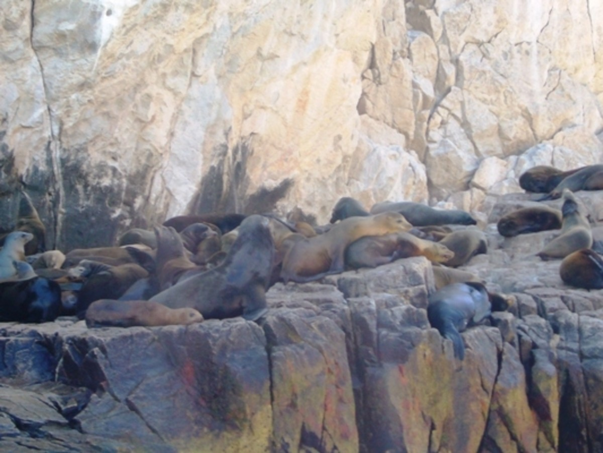 Sea Lions  at Cabo San Lucas