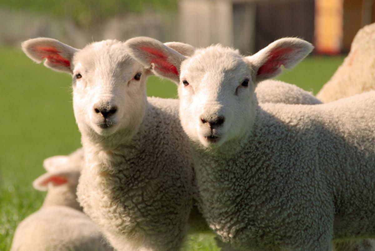 Raising Lamb for the Muslim Market