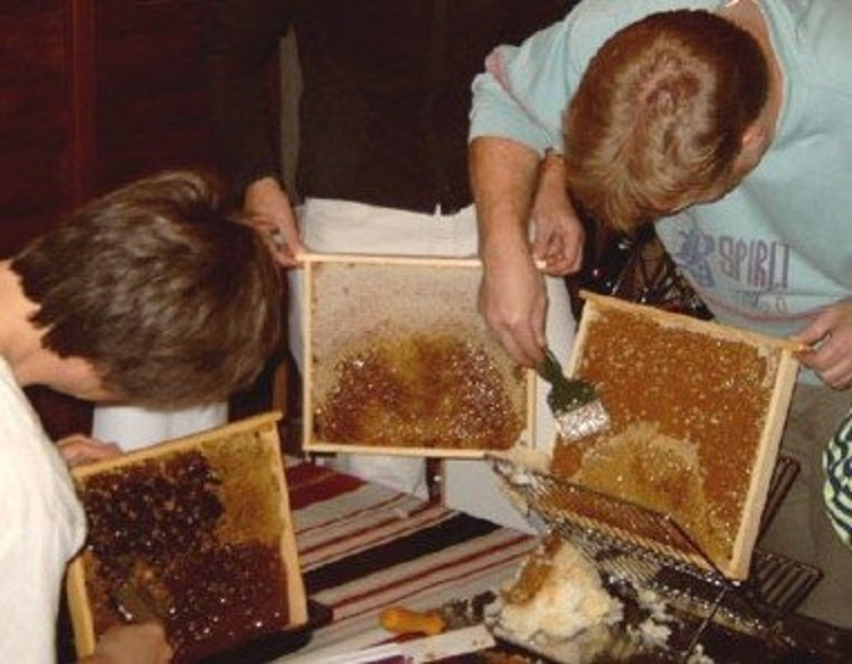 Removing honey from honeycombs.