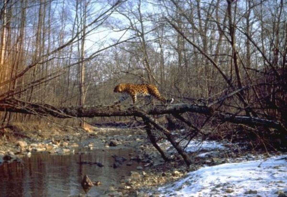 Amur leopard crossing tree in nature reserve Kedrovaya Pad (Yury Shibnev)