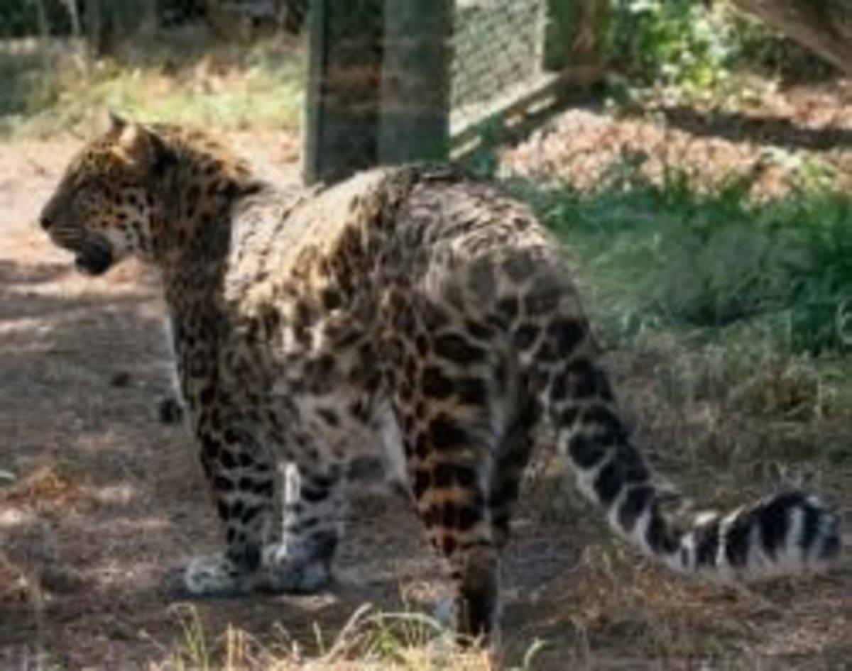 Amur Leopard by Linda Hoxie
