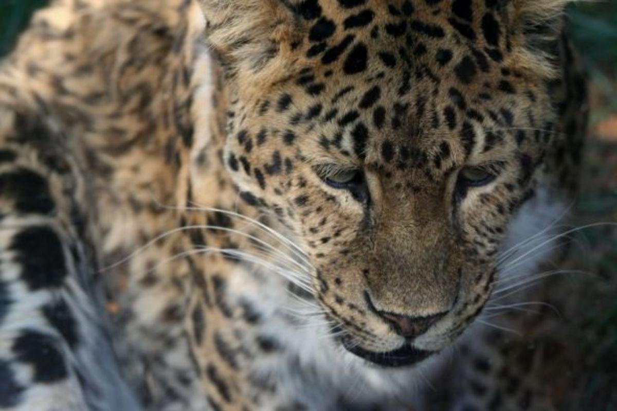 Amur leopard photo by Linda Hoxie