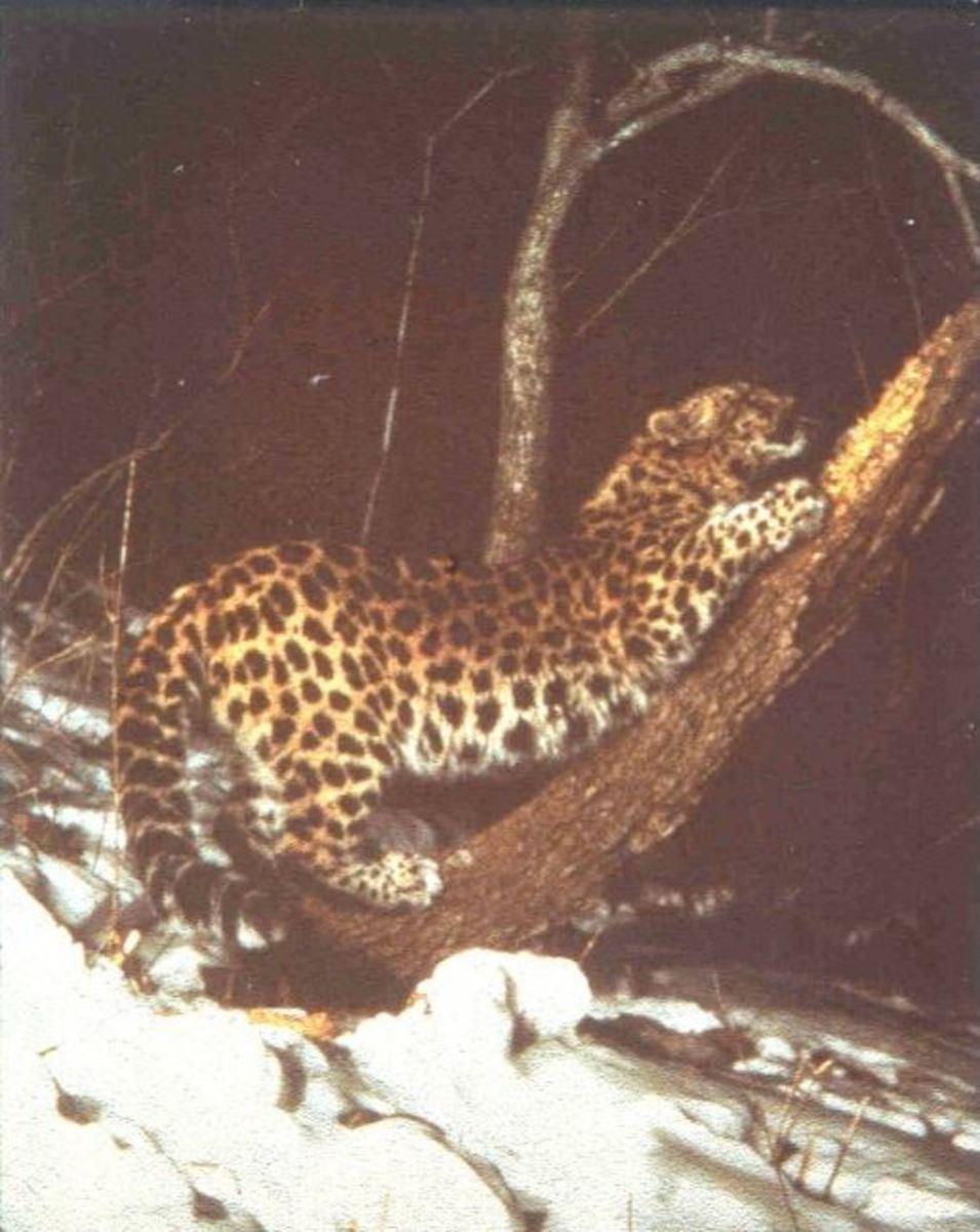Amur leopard at London Zoo,