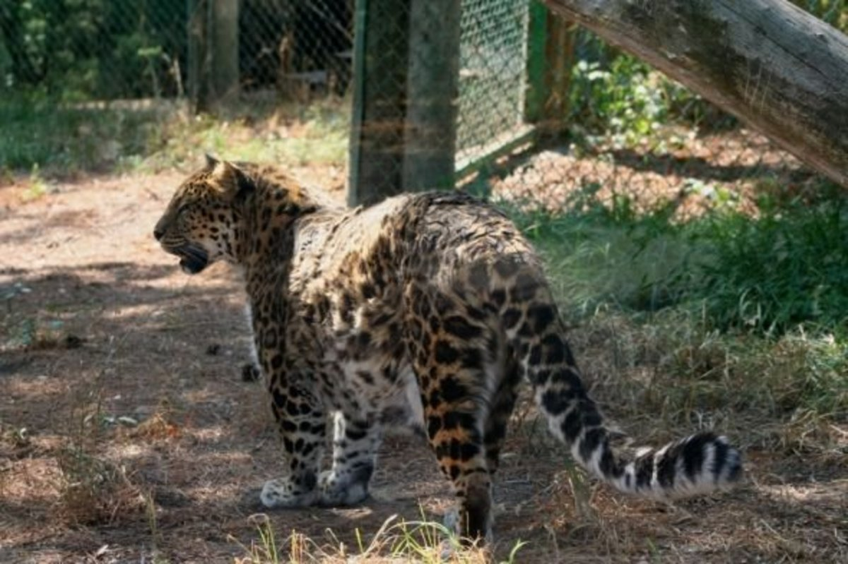 The Amur Leopard standing at the Boise Zoon