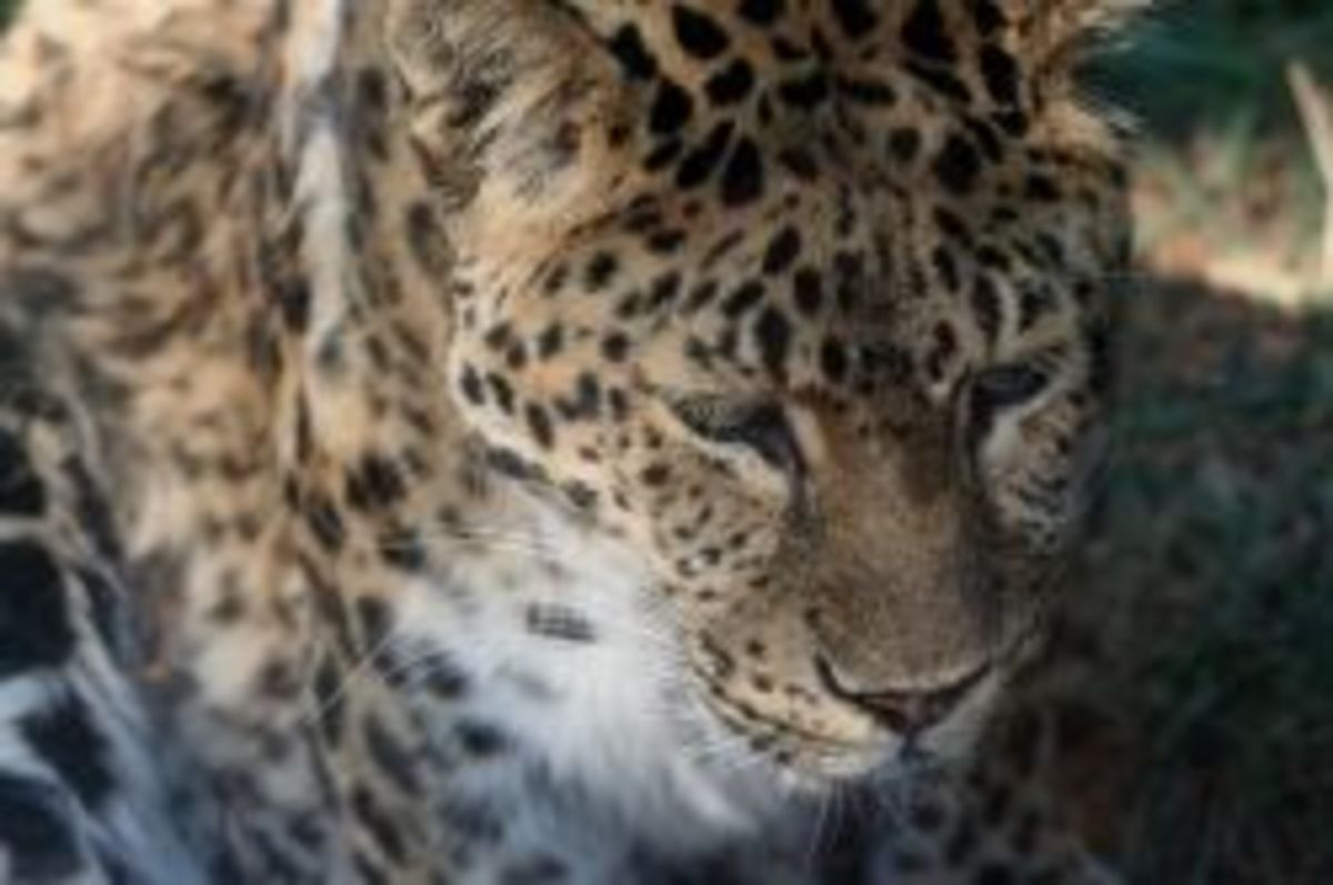 Amur Leopard at the Boise Zoo