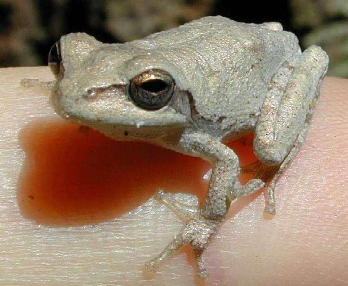 louisiana-amphibians
