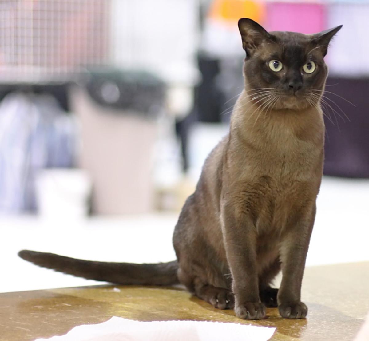 typical Burmese cat