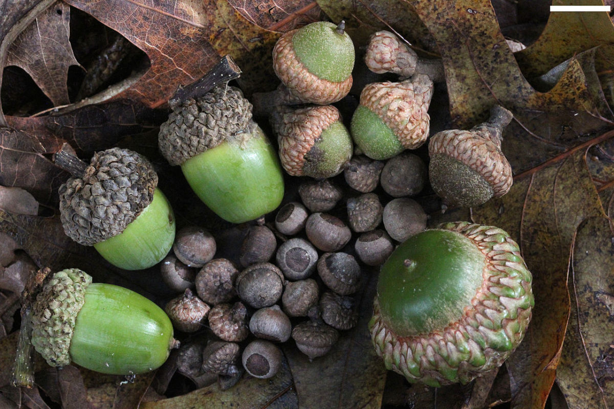 Acorns from small to large of the Willow Oak