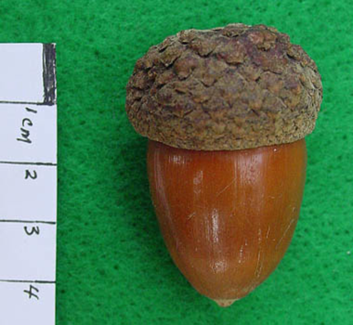 Measuring an Acorn