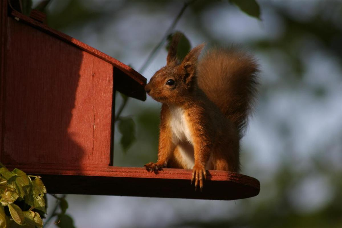 Red squirrel feeding at sunset