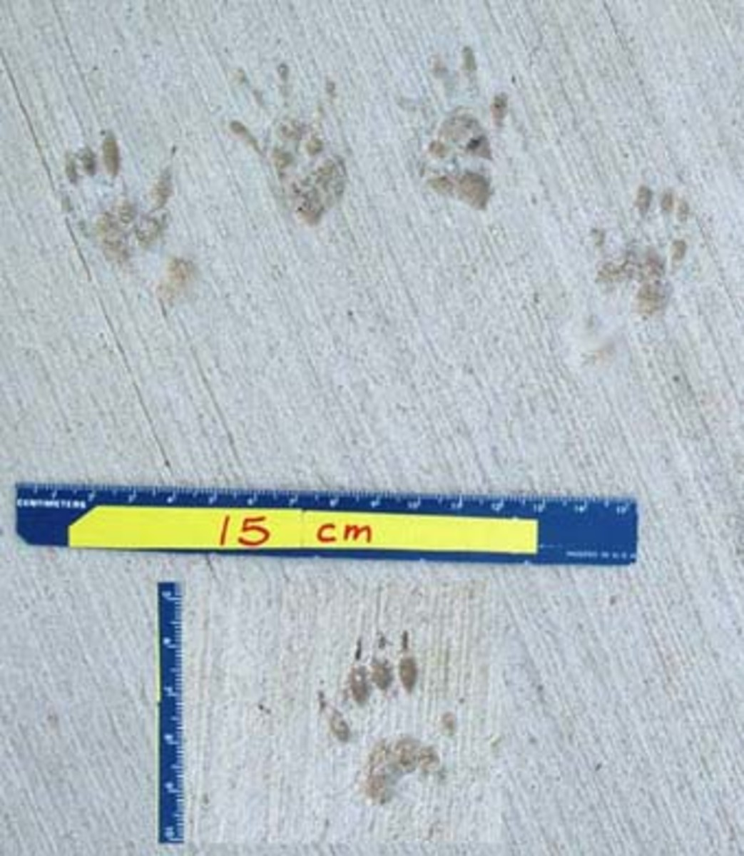 Measuring Squirrel Tracks