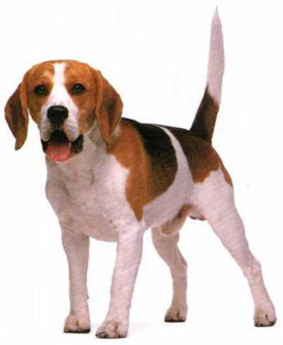 miniature-beagles-for-adoption