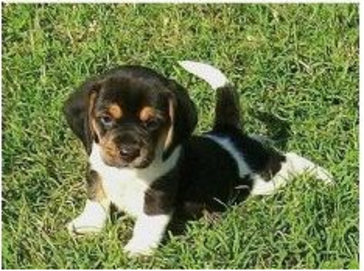 Miniature beagle on the grass