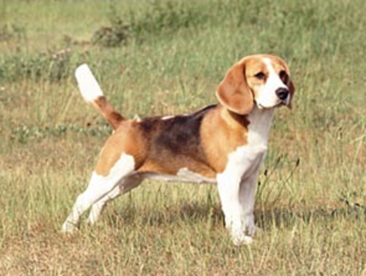 Pocket beagle in the field