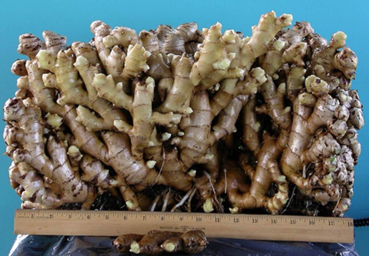 A large quantity of Ginger Roots.