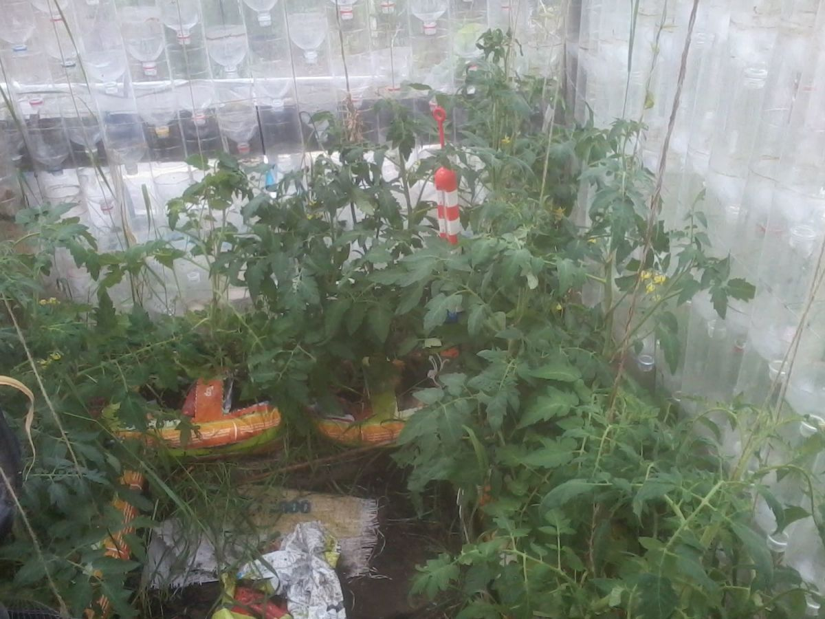 may tomatoes