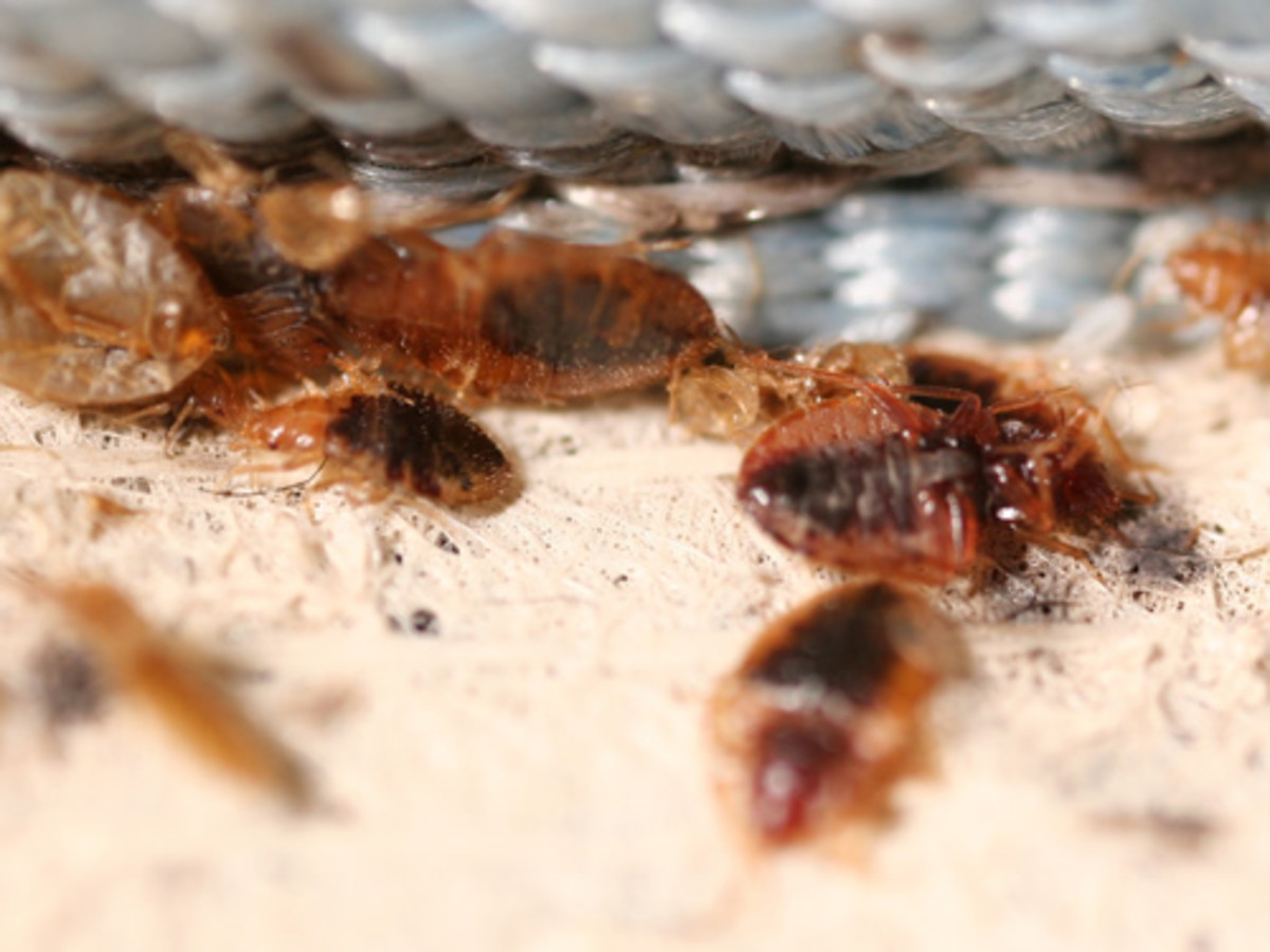 Bed Bugs -The worst experience you can have staying at a hotel, villa or rooms!