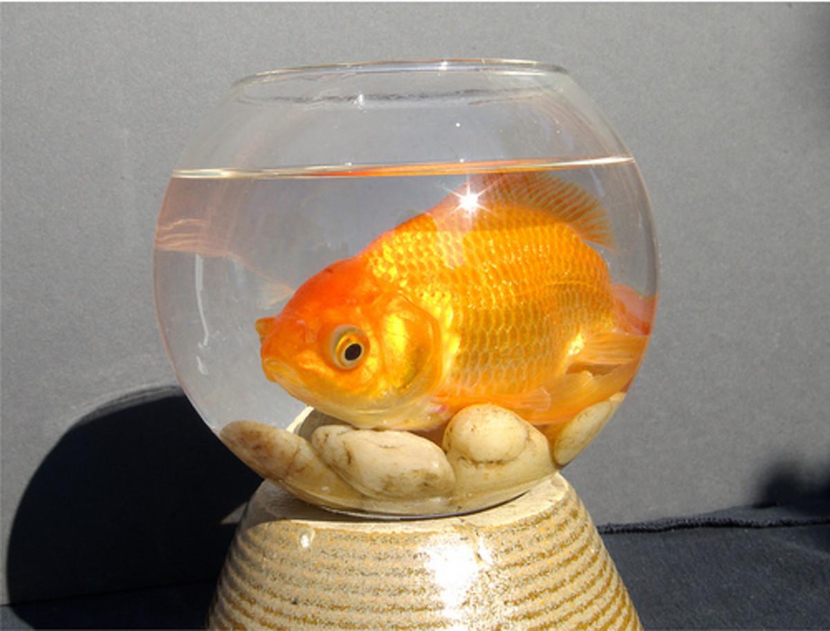 1930s-college-fun-goldfish-swallowing