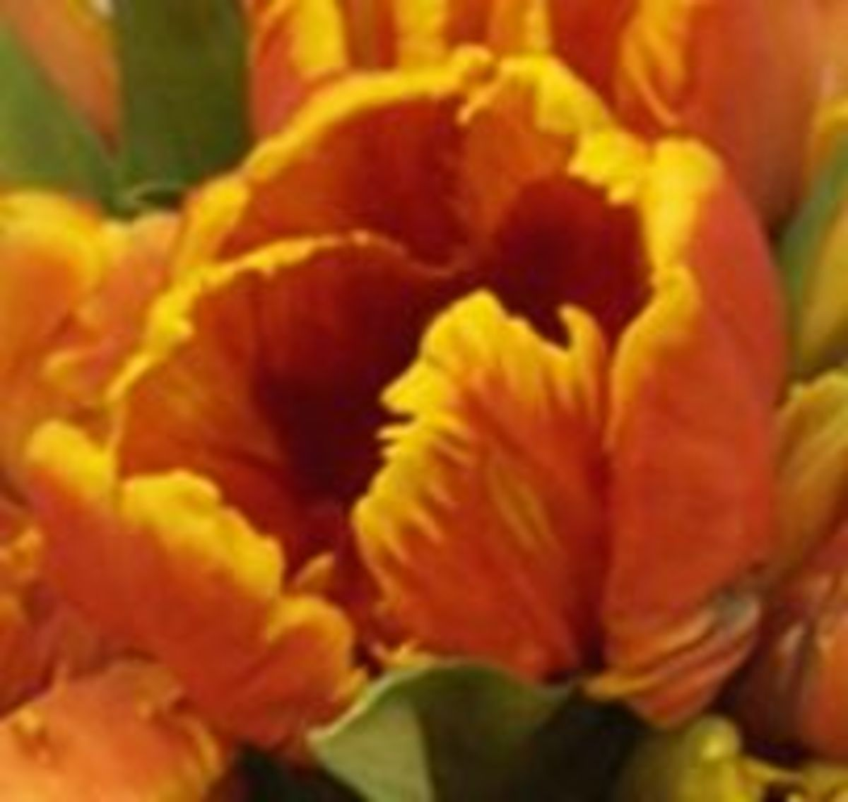 Close-up of an orange tone parrot tulip