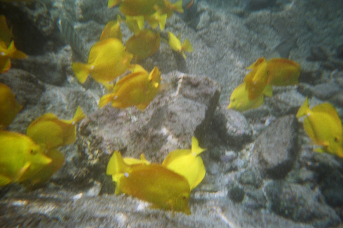 Lau i pala -Yellow Tang