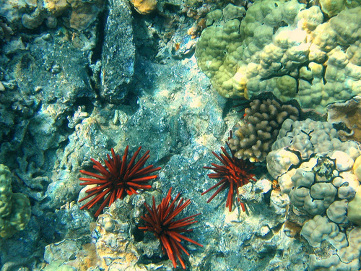 Red Pencil Sea Urchin at Kahalu'u