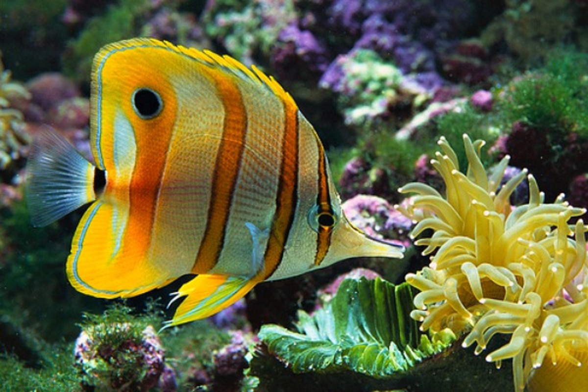 There are 24 out of the 115 world wide species  of butterfly fish endemic to Hawaii.