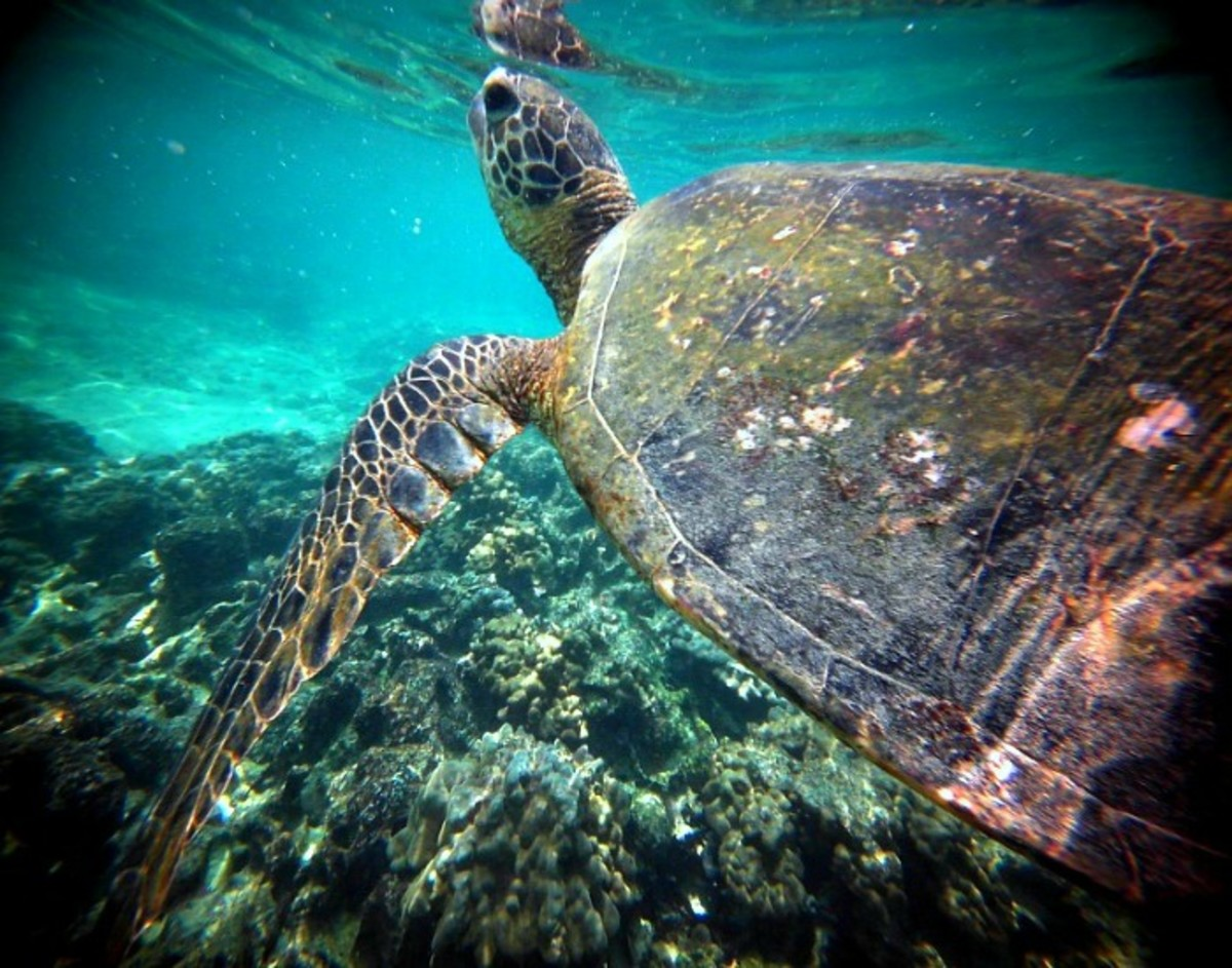Honu Turtle Swimming at Kahaluu Beach Park