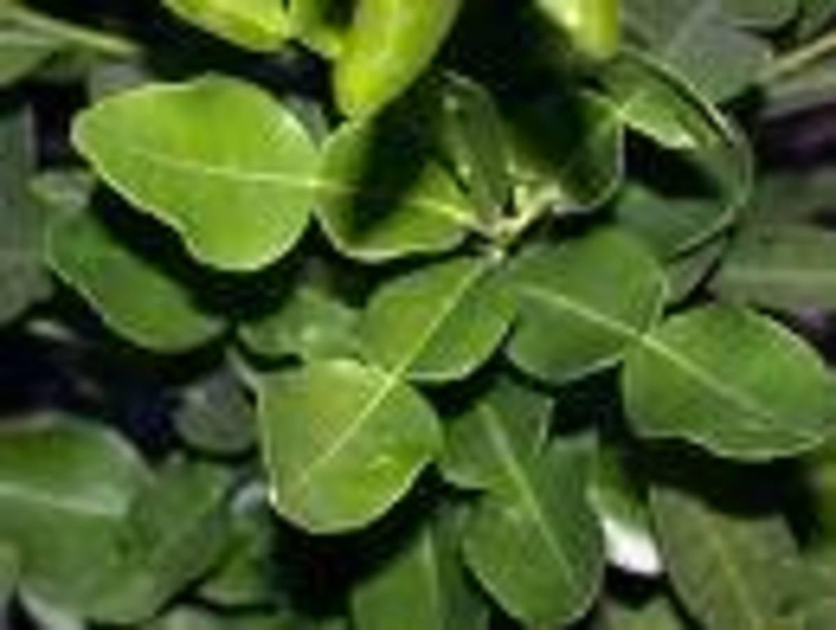 Fragrant Kaffir Leaves