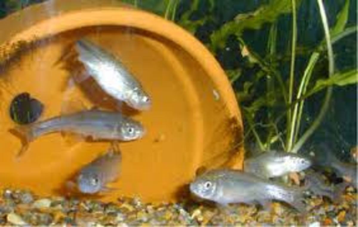 Fathead minnows gather around structure