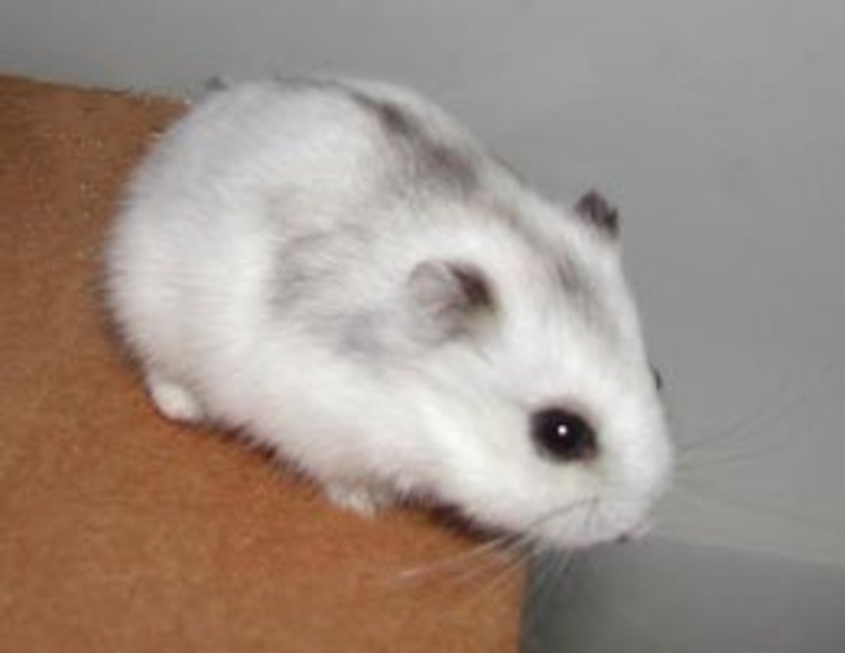 Dwarf Hamster care