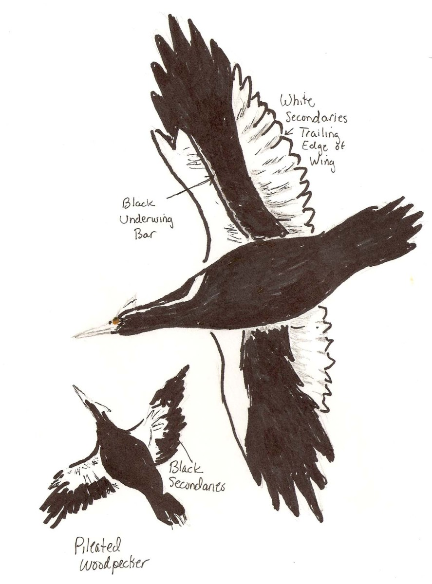 Ivory Billed Woodpecker in flight compared to a Pileated Woodpecker in flight