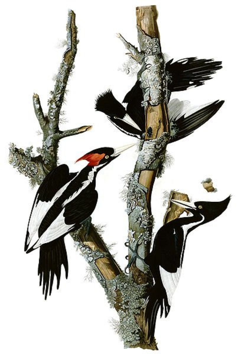 Ivory Bills - Notice that the female has a black crest unlike the female Pileated Woodpecker's red crest.(Drawing by James Audobon at Wikimedia Commons)
