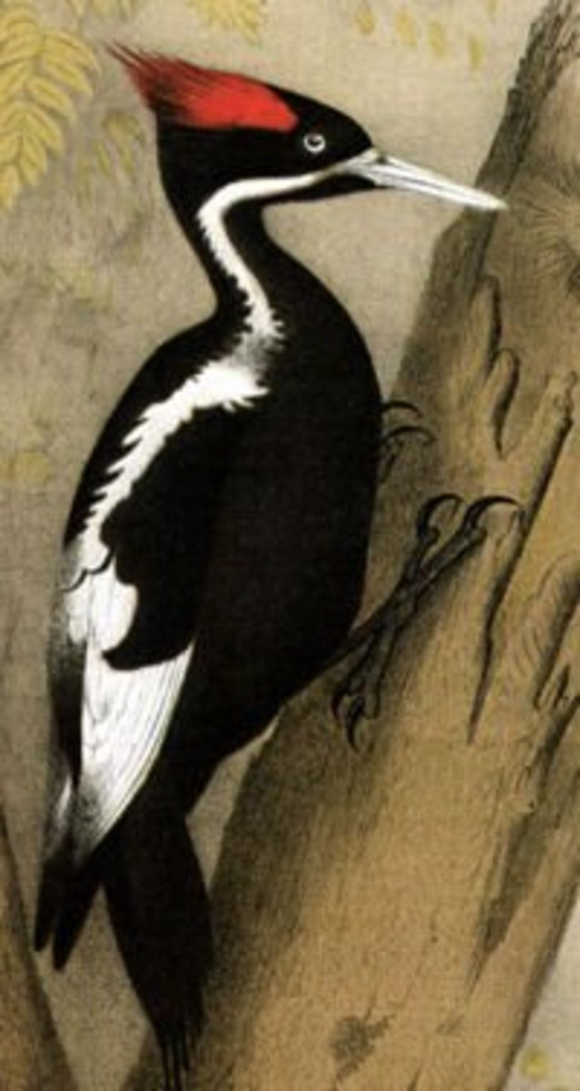 Ivory Billed Woodpecker - Faith, Hope and the Ivory Billed Woodpecker