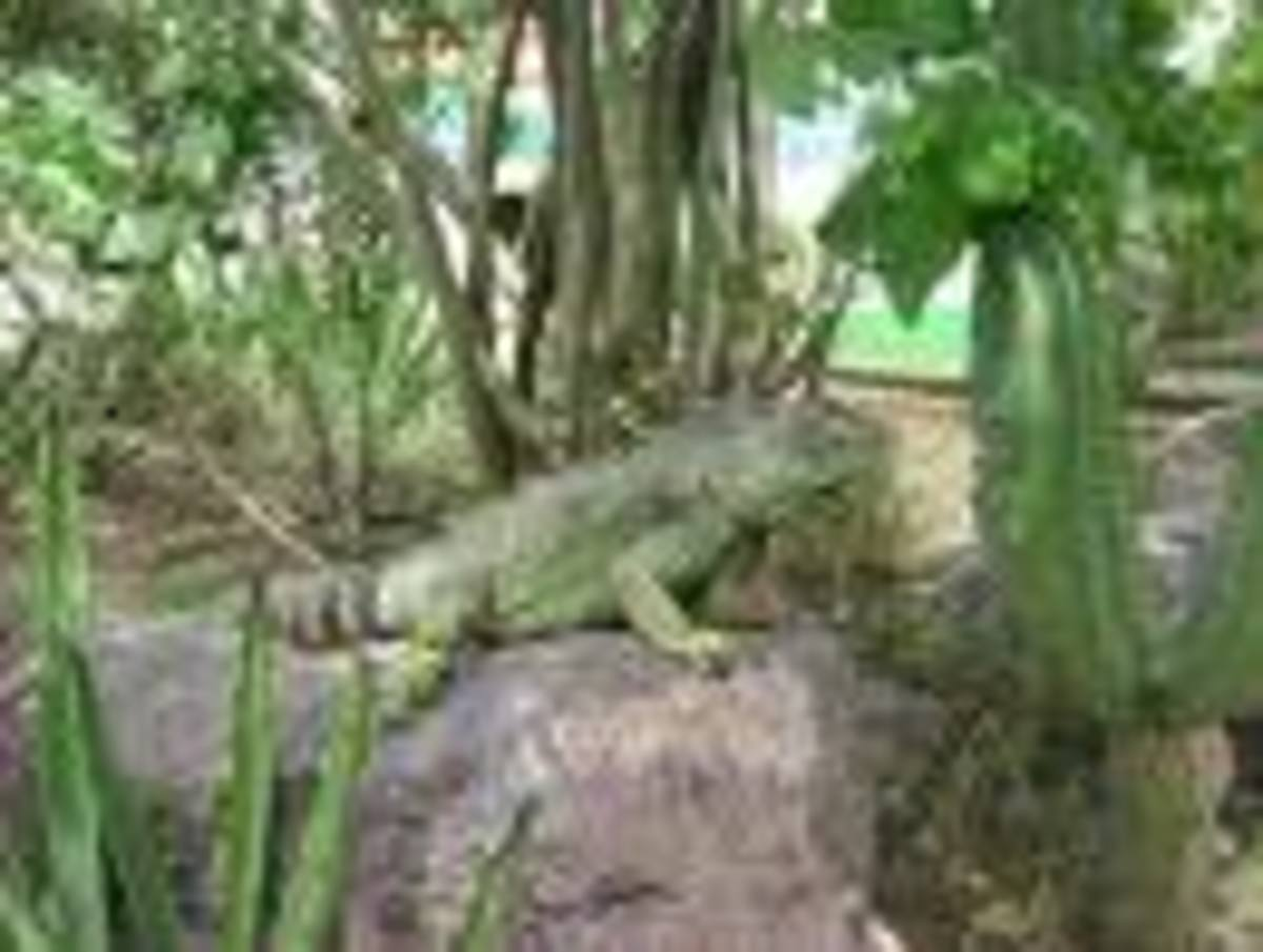 Iguana poses in natural surroundings