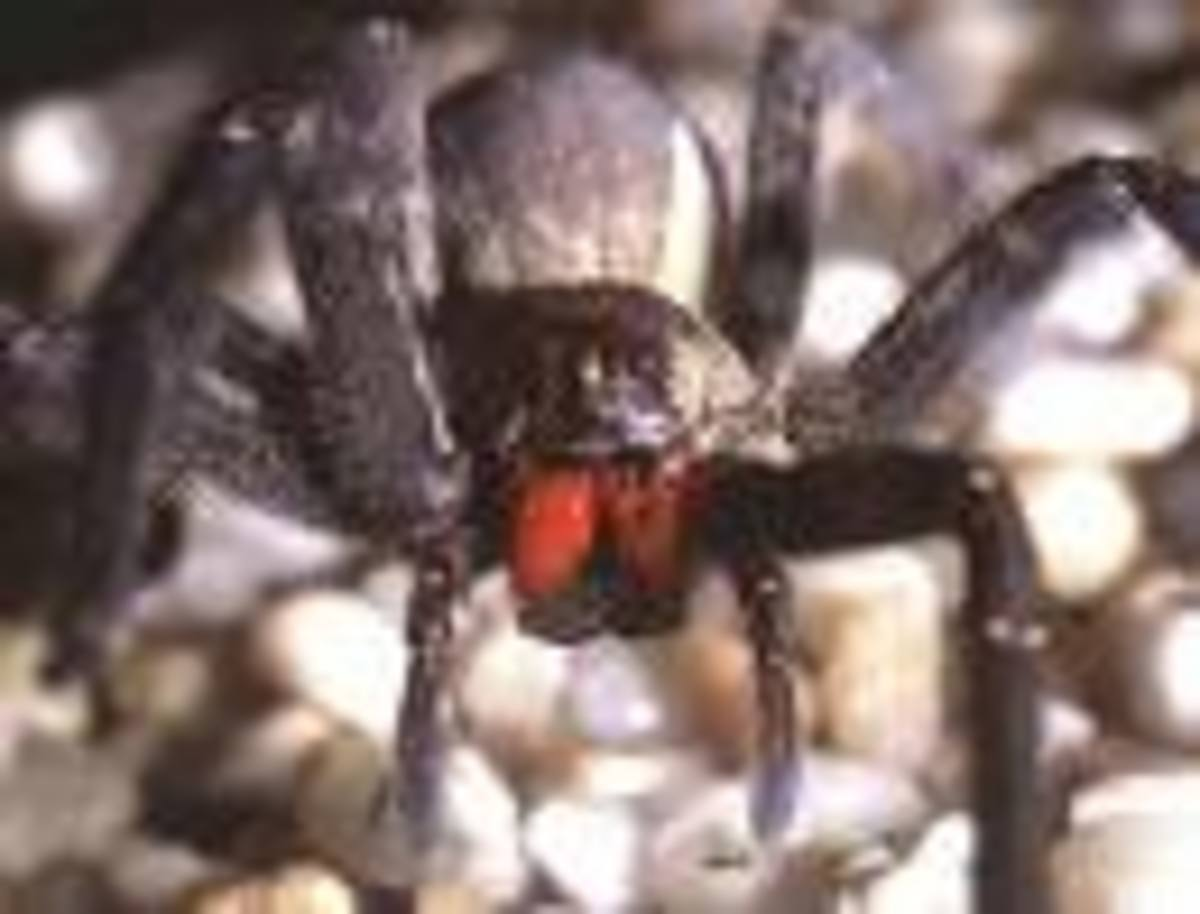 The Wandering Spider.  World's most dangerous arachnid