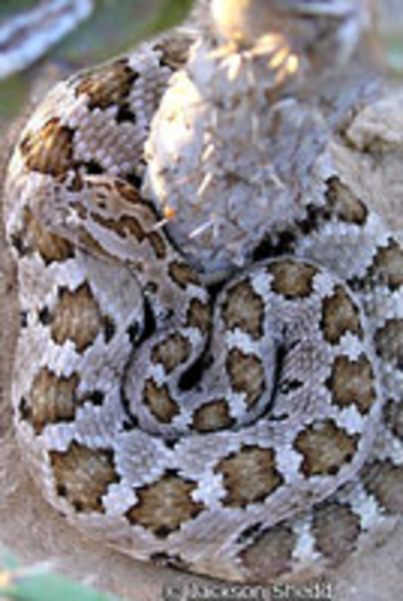 The pretty Baja Rattlesnake:  A generally peaceable creature.