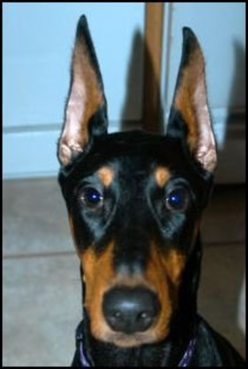 Doberman Ear cropping is it necessary?