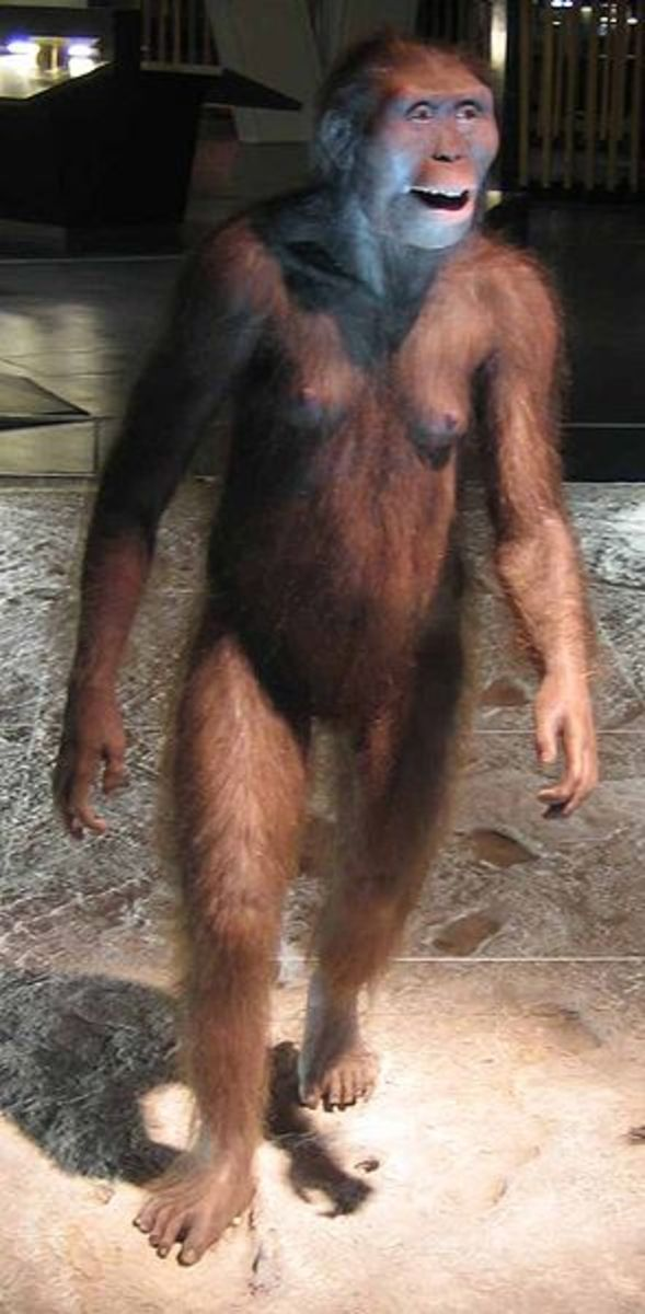 reconstruction of australopithecus, the first known hominid.