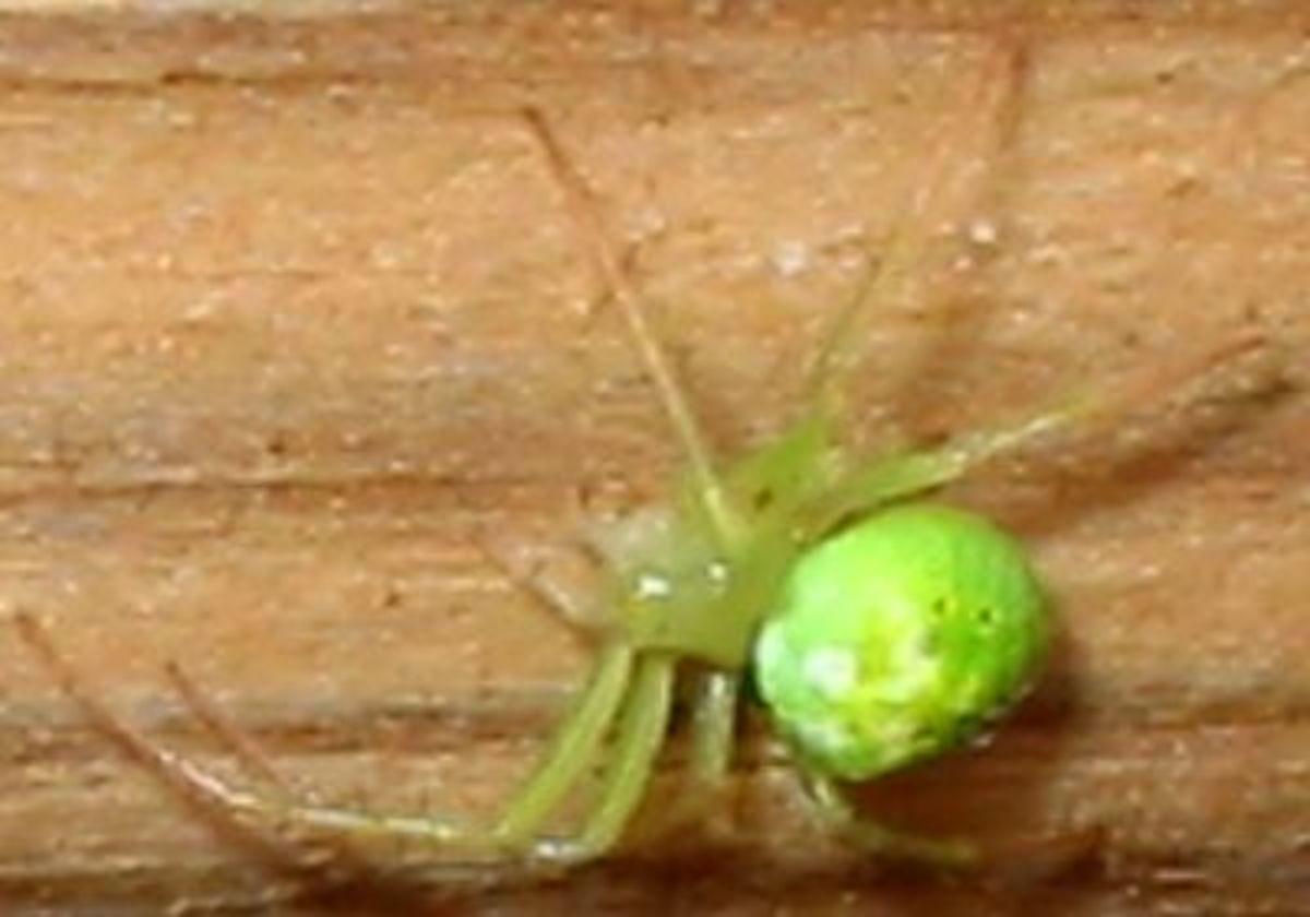 A chartreuse spider--Eeek!!