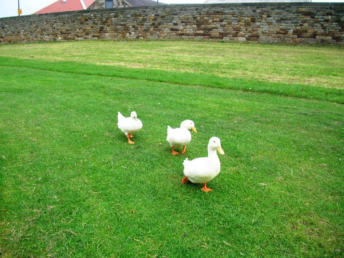 Three Ducks at Whitby Abbey