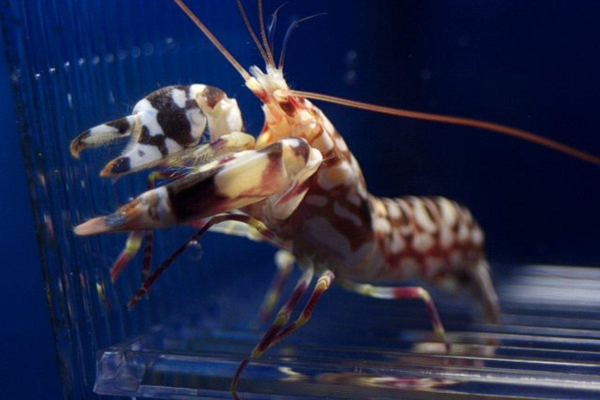 Pistol Shrimp - Facts On The Fascinating Pistol Shrimp